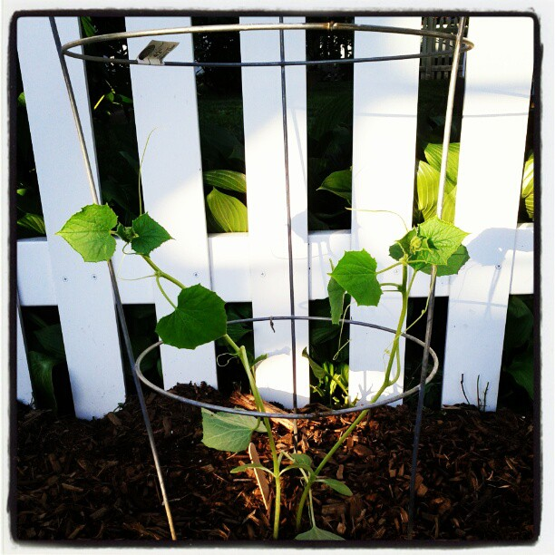 how to grow pickling cucumbers in a container