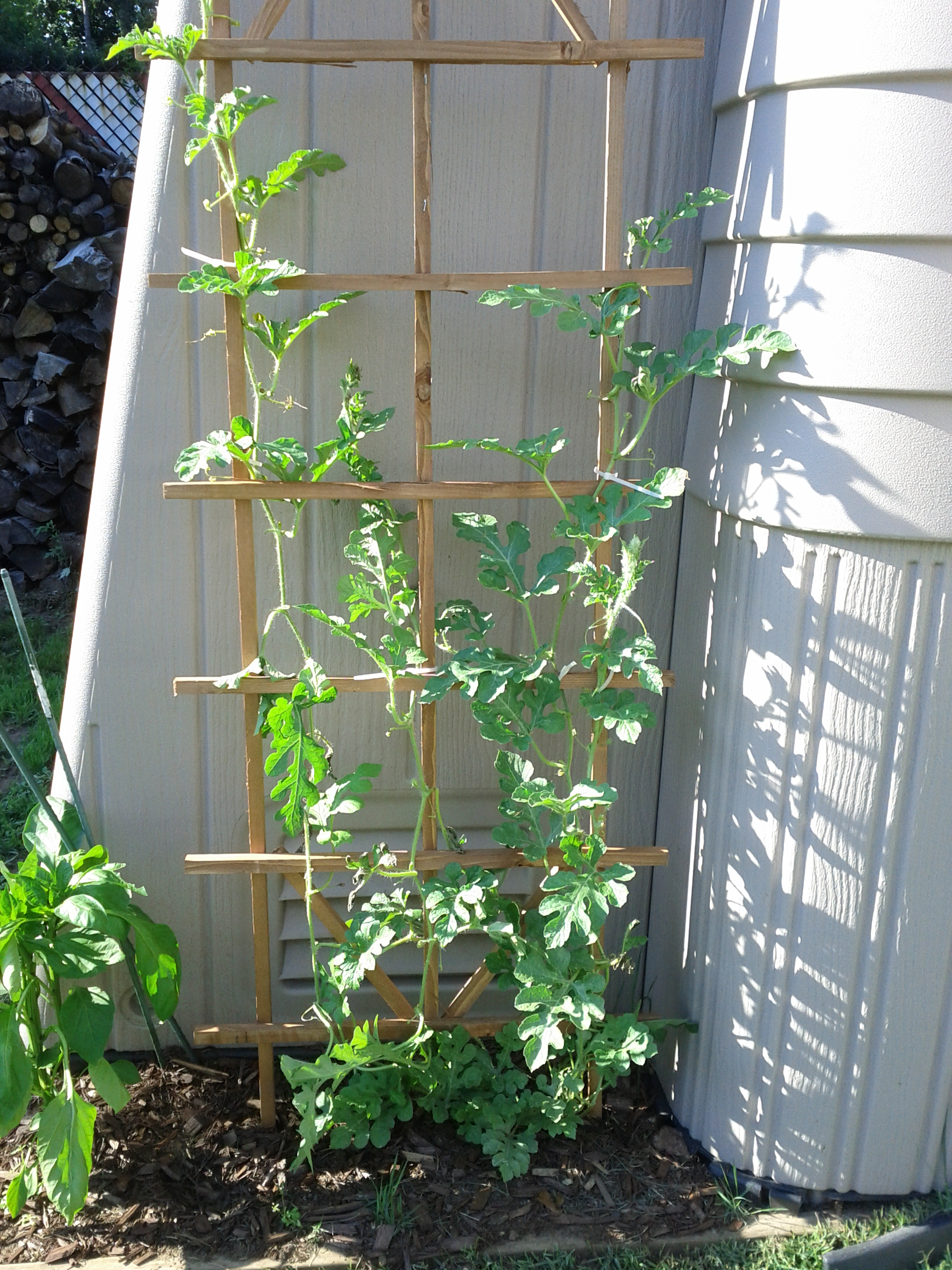 You need to know how to tie tomatoes in the greenhouse